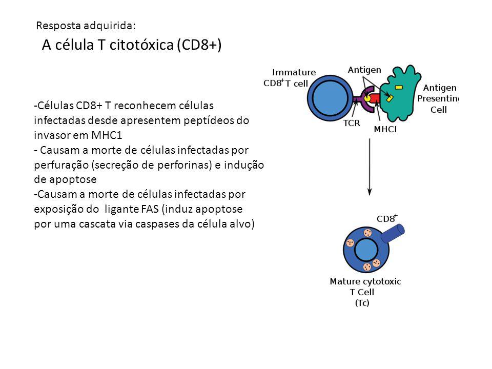 A célula T citotóxica (CD8+) -Células CD8+ T reconhecem células infectadas desde apresentem peptídeos do invasor em MHC1 - Causam a morte de células i