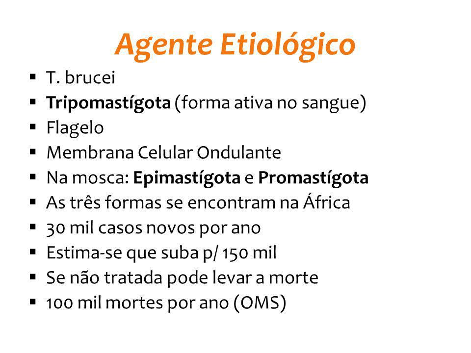 Agente Etiológico T. brucei Tripomastígota (forma ativa no sangue) Flagelo Membrana Celular Ondulante Na mosca: Epimastígota e Promastígota As três fo