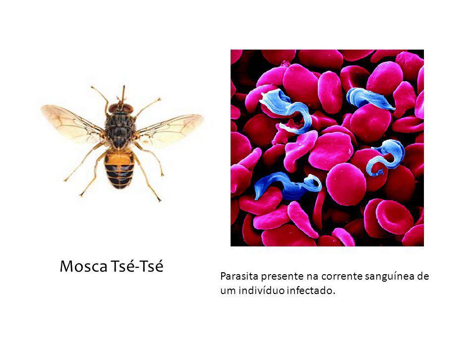 Mosca Tsé-Tsé Parasita presente na corrente sanguínea de um indivíduo infectado.