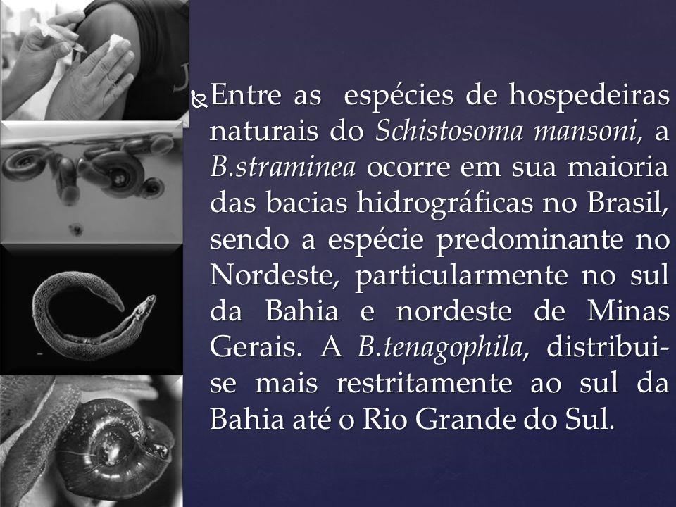 Entre as espécies de hospedeiras naturais do Schistosoma mansoni, a B.straminea ocorre em sua maioria das bacias hidrográficas no Brasil, sendo a espé