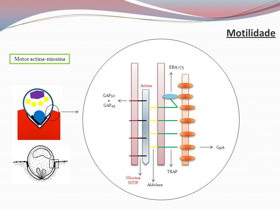 Motilidade Actina Miosina MTIP GpA Aldolase EBA 175 TRAP GAP50 e GAP45 Motor actina-miosina