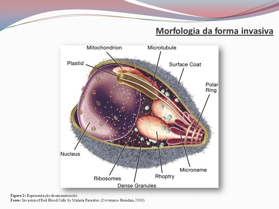 Morfologia da forma invasiva Figura 2: Representação de um merozoíto.