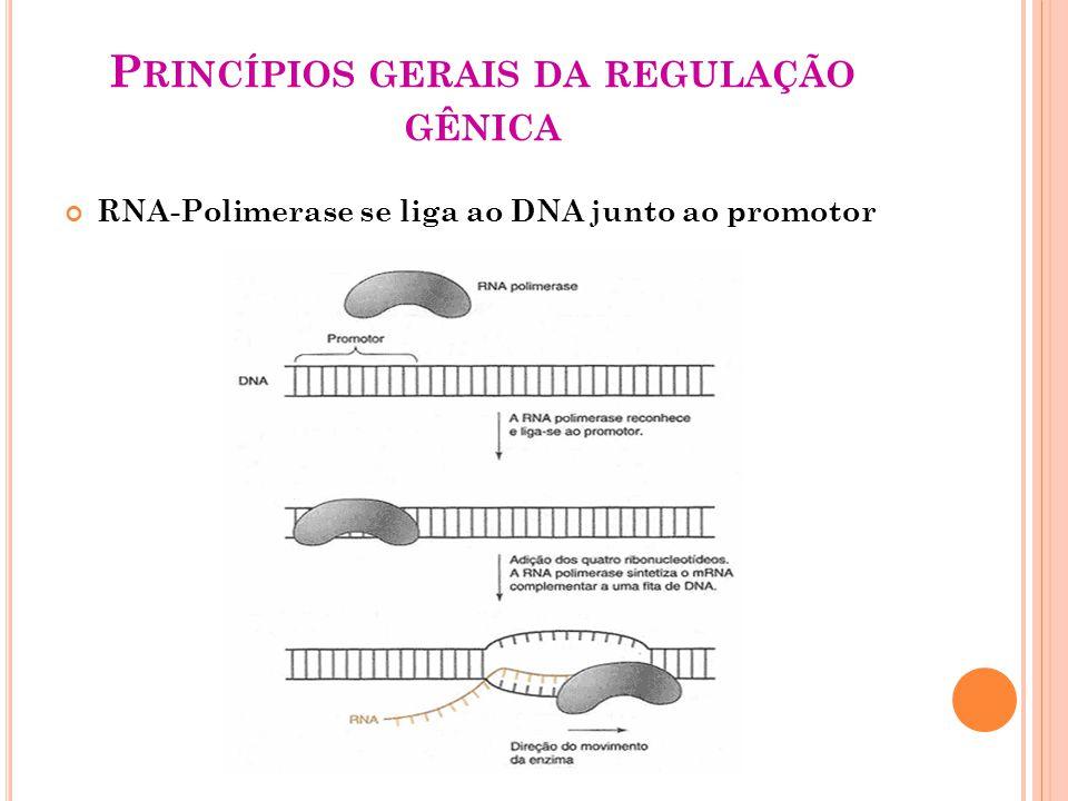 P RINCÍPIOS GERAIS DA REGULAÇÃO GÊNICA RNA-Polimerase se liga ao DNA junto ao promotor