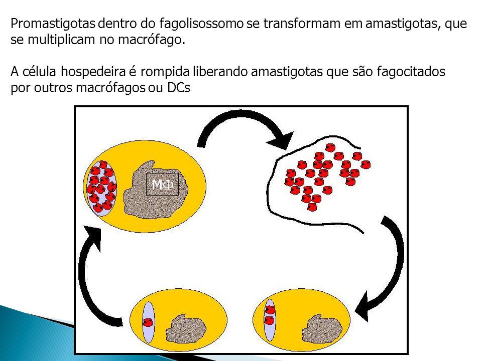 Promastigotas dentro do fagolisossomo se transformam em amastigotas, que se multiplicam no macrófago. A célula hospedeira é rompida liberando amastigo