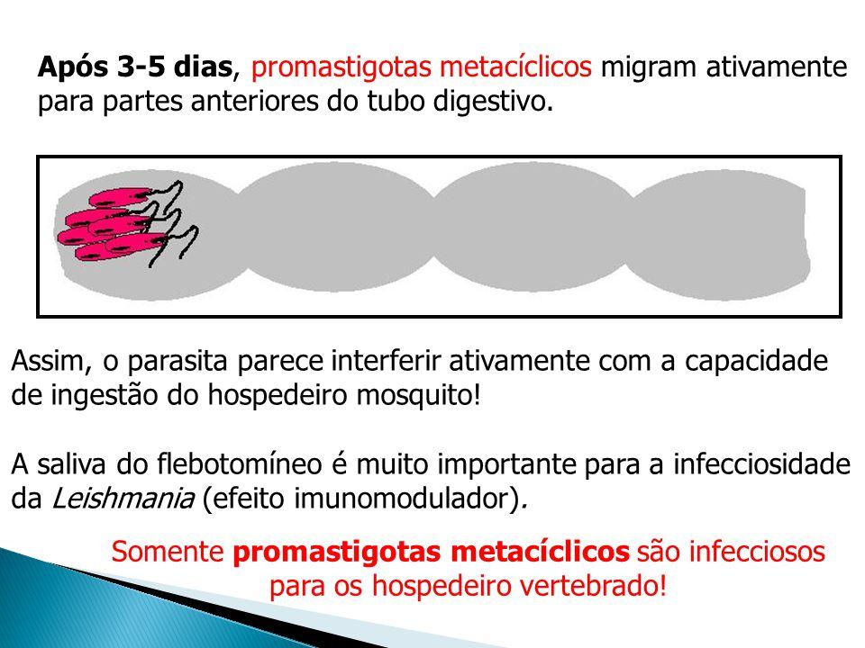 Após 3-5 dias, promastigotas metacíclicos migram ativamente para partes anteriores do tubo digestivo. Somente promastigotas metacíclicos são infeccios
