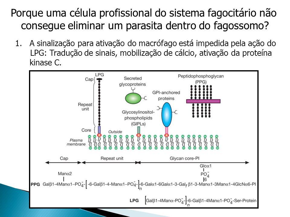 Porque uma célula profissional do sistema fagocitário não consegue eliminar um parasita dentro do fagossomo? 1.A sinalização para ativação do macrófag