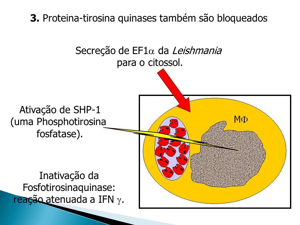 3. Proteina-tirosina quinases também são bloqueados Secreção de EF1 da Leishmania para o citossol. Ativação de SHP-1 (uma Phosphotirosina fosfatase).