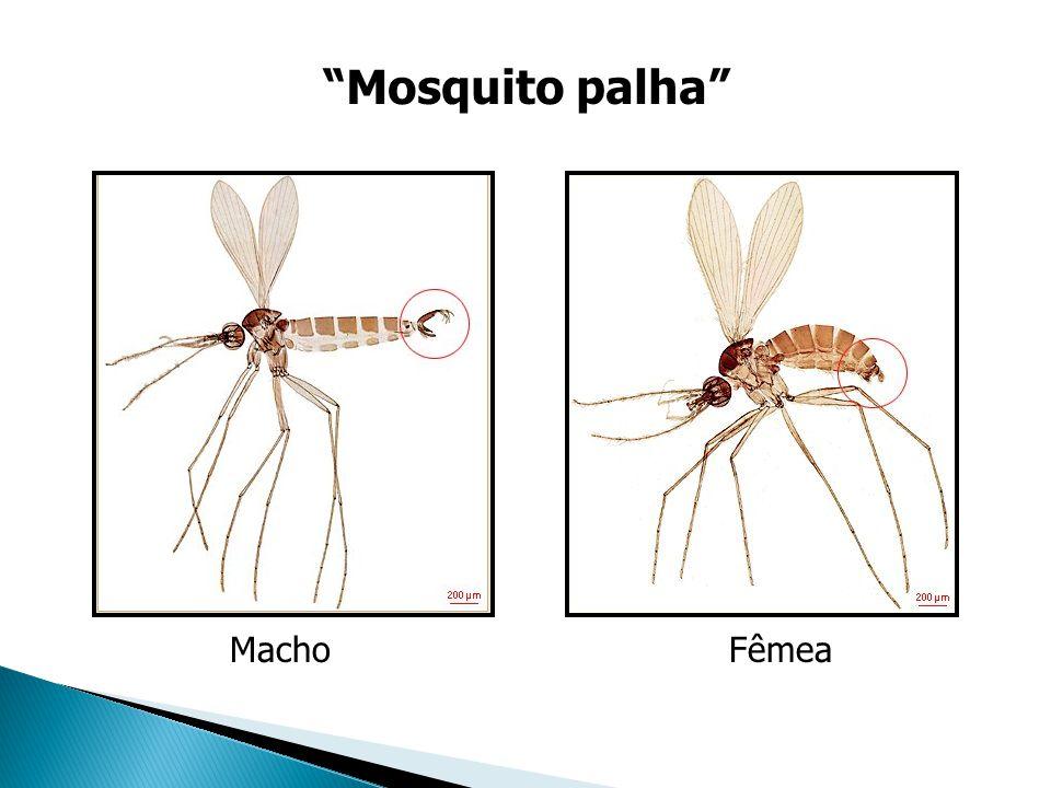Fêmea Mosquito palha Macho
