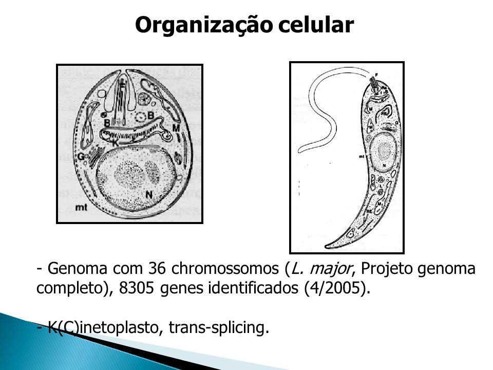 Organização celular - Genoma com 36 chromossomos (L. major, Projeto genoma completo), 8305 genes identificados (4/2005). - K(C)inetoplasto, trans-spli