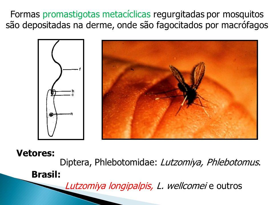 Formas promastigotas metacíclicas regurgitadas por mosquitos são depositadas na derme, onde são fagocitados por macrófagos Diptera, Phlebotomidae: Lut