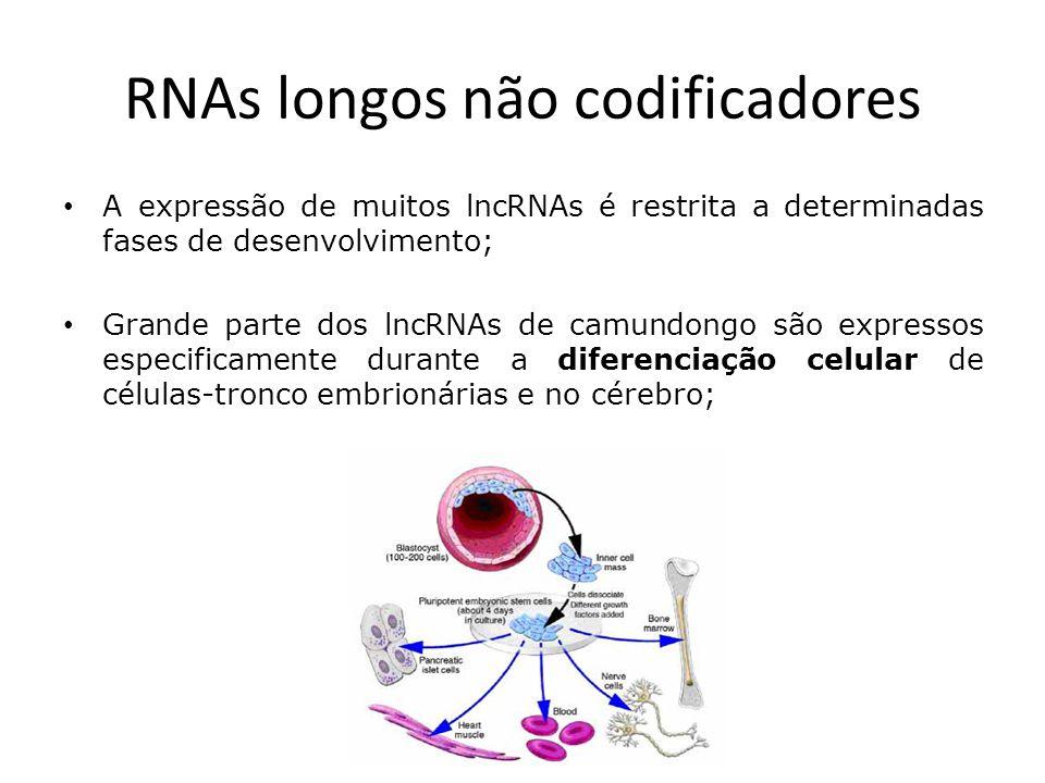 RNAs longos não codificadores A expressão de muitos lncRNAs é restrita a determinadas fases de desenvolvimento; Grande parte dos lncRNAs de camundongo são expressos especificamente durante a diferenciação celular de células-tronco embrionárias e no cérebro;