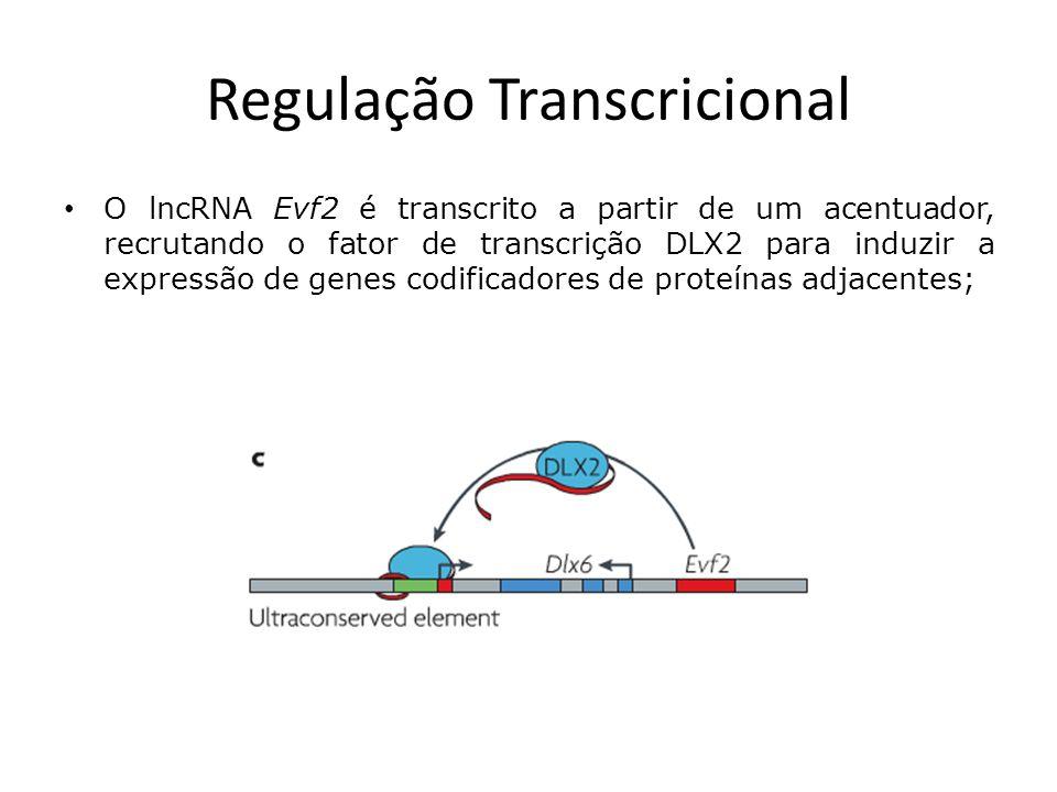 Regulação Transcricional O lncRNA Evf2 é transcrito a partir de um acentuador, recrutando o fator de transcrição DLX2 para induzir a expressão de genes codificadores de proteínas adjacentes;