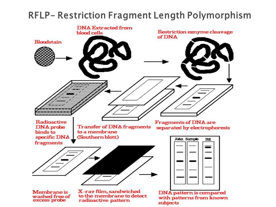 RFLP– Restriction Fragment Length Polymorphism RFLP – Restriction Fragment Length Polymorphism