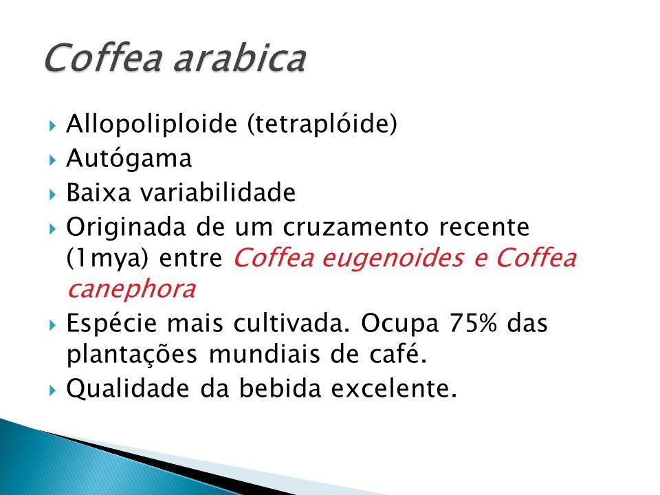 Allopoliploide (tetraplóide) Autógama Baixa variabilidade Originada de um cruzamento recente (1mya) entre Coffea eugenoides e Coffea canephora Espécie mais cultivada.