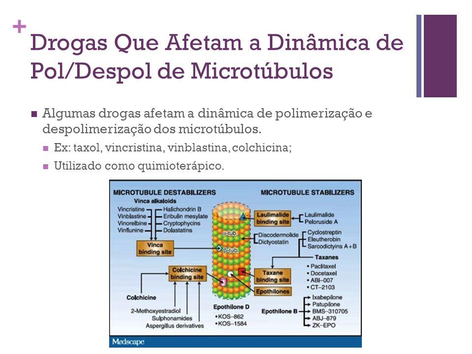+ Drogas Que Afetam a Dinâmica de Pol/Despol de Microtúbulos Algumas drogas afetam a dinâmica de polimerização e despolimerização dos microtúbulos. Ex