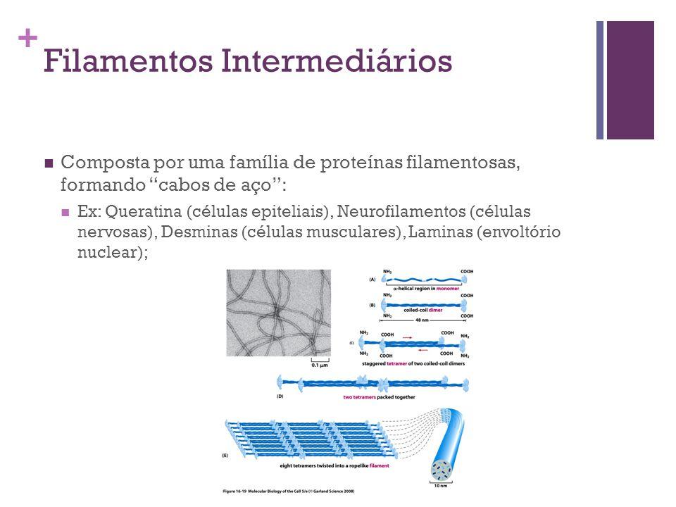 + Filamentos Intermediários Composta por uma família de proteínas filamentosas, formando cabos de aço: Ex: Queratina (células epiteliais), Neurofilame
