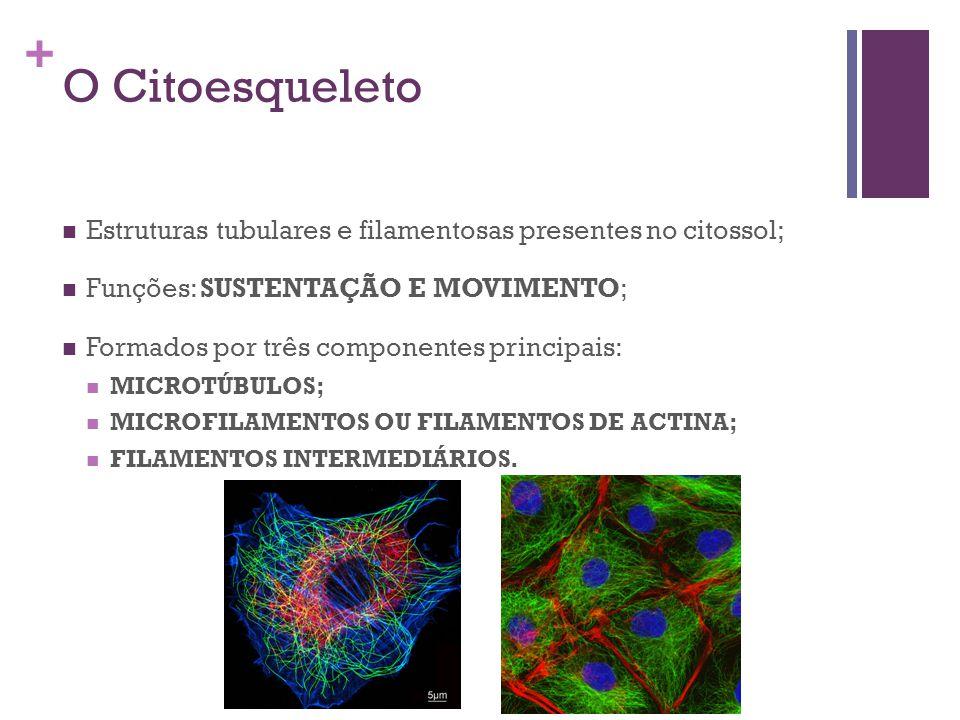+ O Citoesqueleto Estruturas tubulares e filamentosas presentes no citossol; Funções: SUSTENTAÇÃO E MOVIMENTO; Formados por três componentes principai