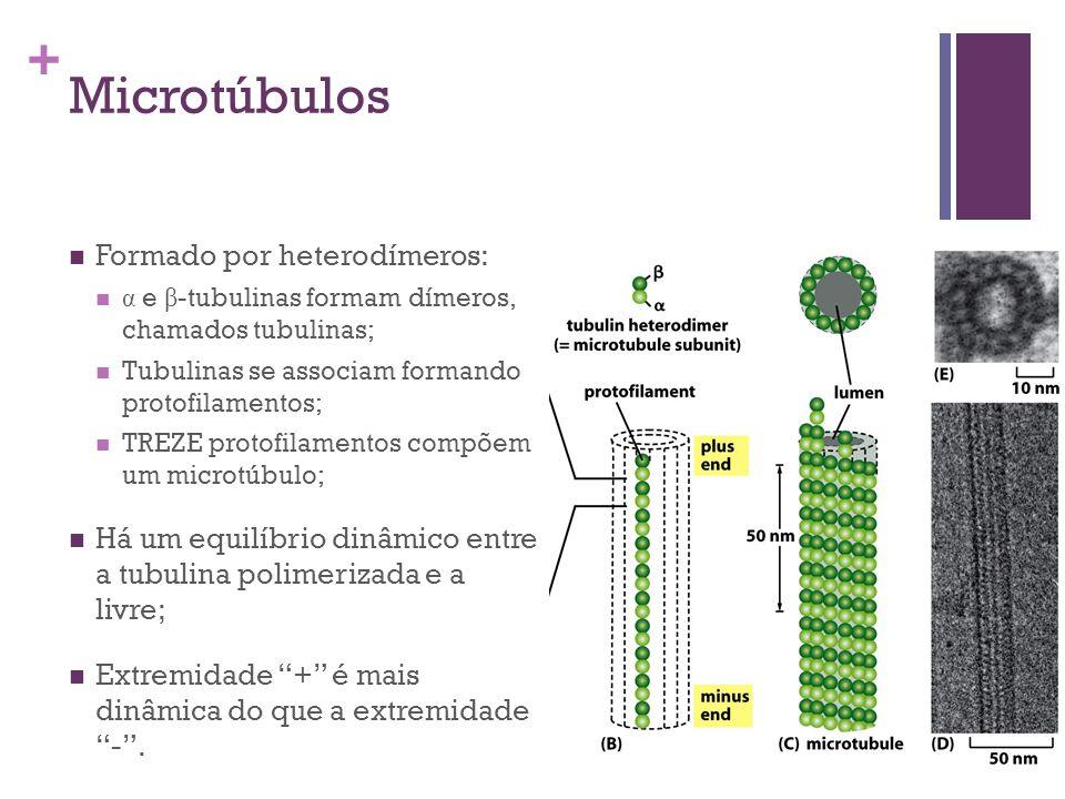 + Microtúbulos Formado por heterodímeros: α e β -tubulinas formam dímeros, chamados tubulinas; Tubulinas se associam formando protofilamentos; TREZE p