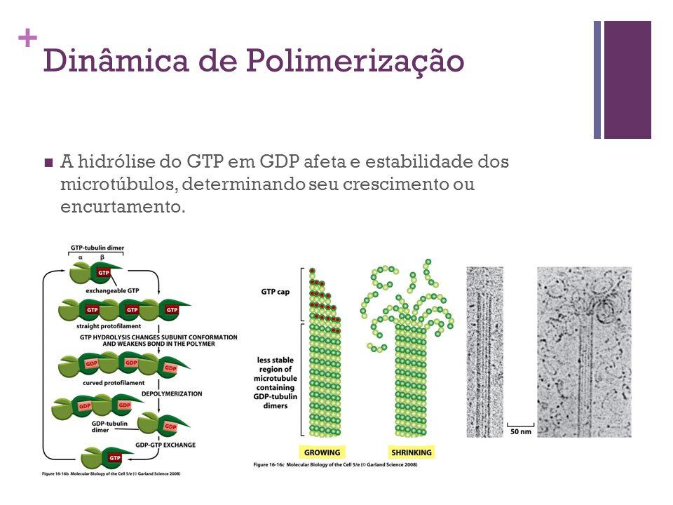 + Dinâmica de Polimerização A hidrólise do GTP em GDP afeta e estabilidade dos microtúbulos, determinando seu crescimento ou encurtamento.