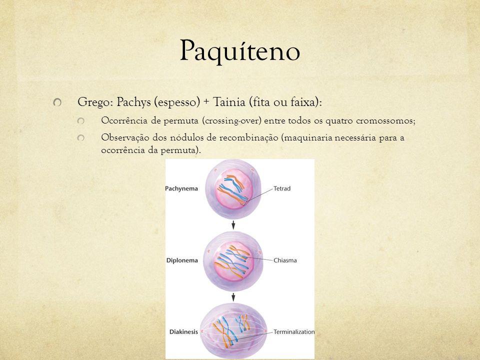 Paquíteno Grego: Pachys (espesso) + Tainia (fita ou faixa): Ocorrência de permuta (crossing-over) entre todos os quatro cromossomos; Observação dos nó