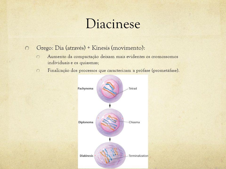 Diacinese Grego: Dia (através) + Kinesis (movimento): Aumento da compactação deixam mais evidentes os cromossomos individuais e os quiasmas; Finalizaç