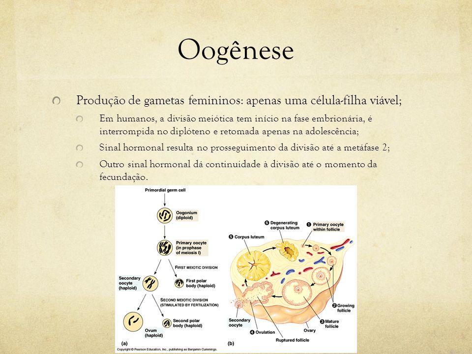 Oogênese Produção de gametas femininos: apenas uma célula-filha viável; Em humanos, a divisão meiótica tem início na fase embrionária, é interrompida