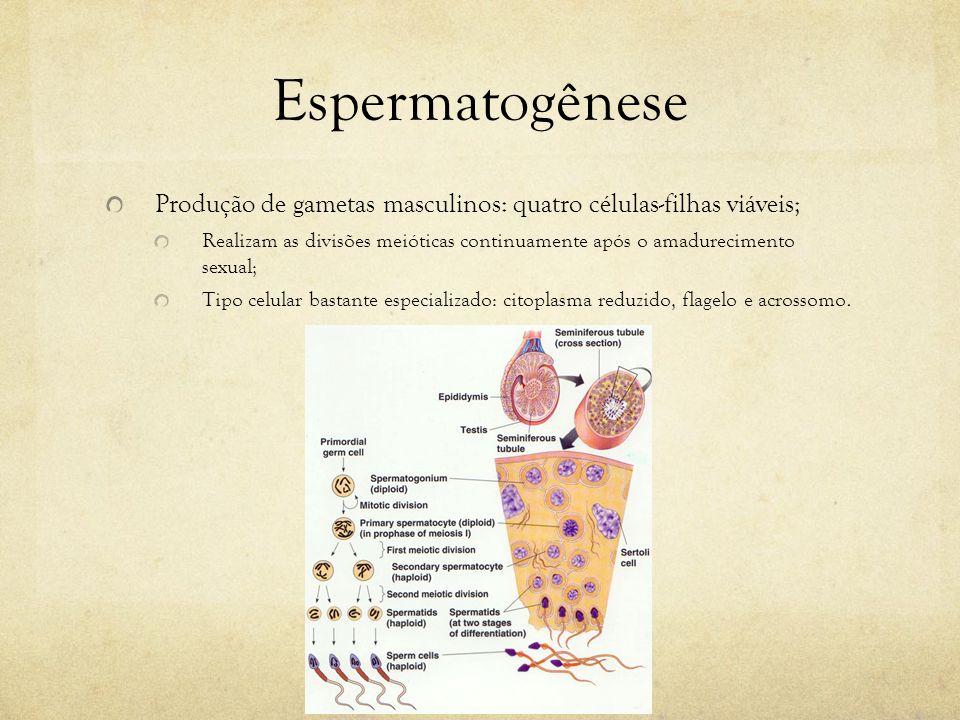 Espermatogênese Produção de gametas masculinos: quatro células-filhas viáveis; Realizam as divisões meióticas continuamente após o amadurecimento sexu