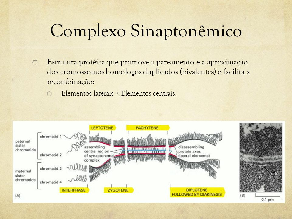 Complexo Sinaptonêmico Estrutura protéica que promove o pareamento e a aproximação dos cromossomos homólogos duplicados (bivalentes) e facilita a reco
