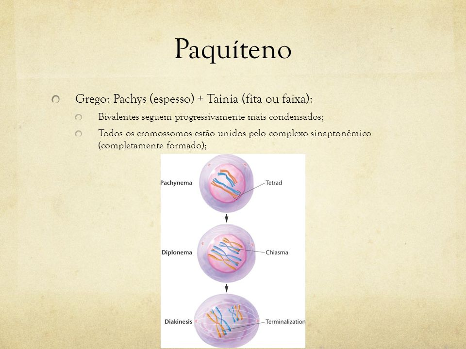 Paquíteno Grego: Pachys (espesso) + Tainia (fita ou faixa): Ocorrência de permuta (crossing-over) entre todos os quatro cromossomos; Observação dos nódulos de recombinação (maquinaria necessária para a ocorrência da permuta).