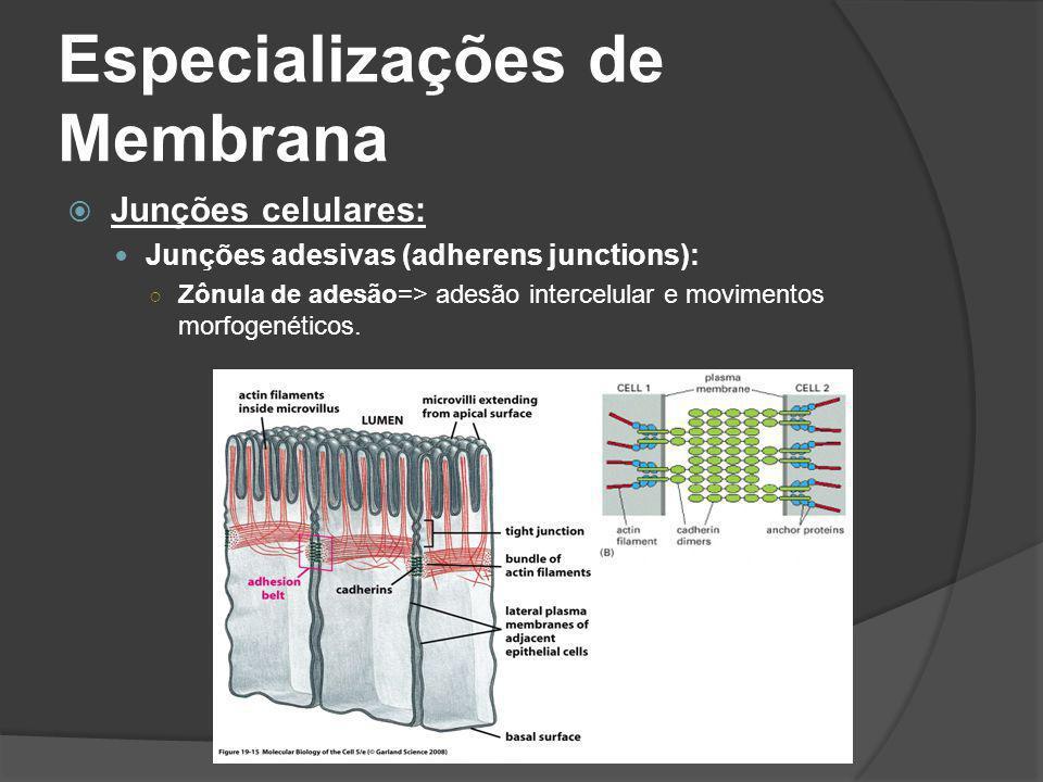 Especializações de Membrana Junções celulares: Junções adesivas (adherens junctions): Zônula de adesão=> adesão intercelular e movimentos morfogenétic