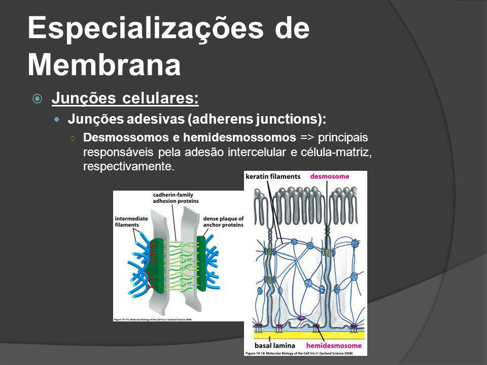 Especializações de Membrana Junções celulares: Junções adesivas (adherens junctions): Desmossomos e hemidesmossomos => principais responsáveis pela ad