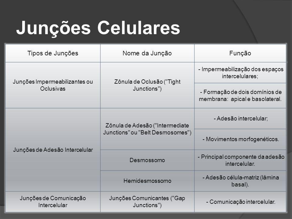 Tipos de JunçõesNome da JunçãoFunção Junções Impermeabilizantes ou Oclusivas Zônula de Oclusão (