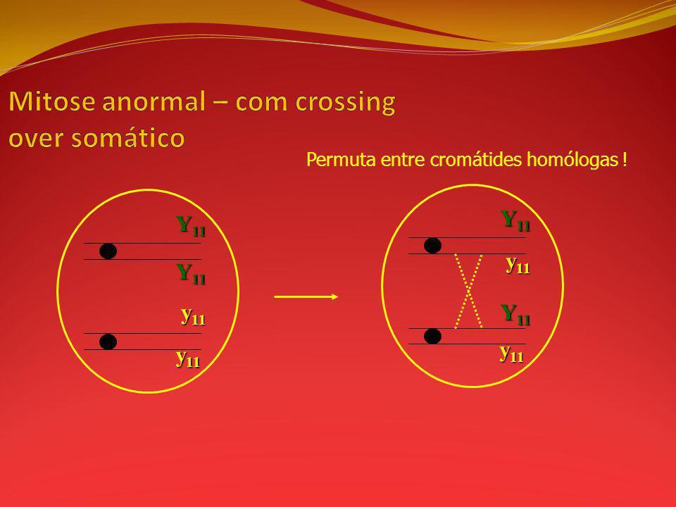 Permuta entre cromátides homólogas ! y 11 Y 11 y 11 Y 11 y 11 Y 11 y 11