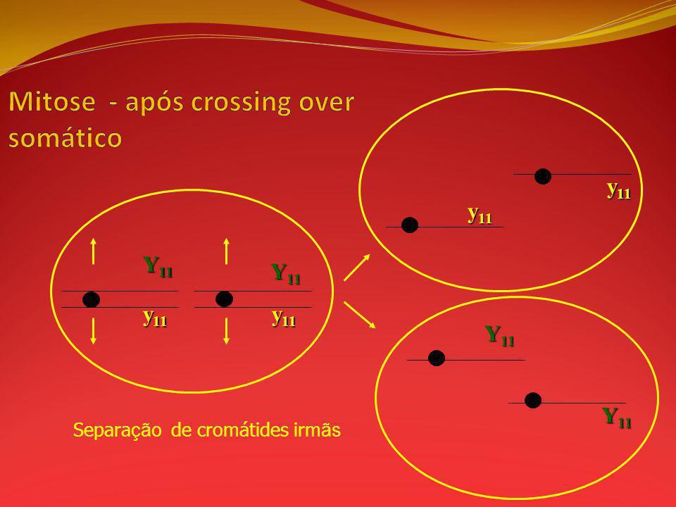 Separa ção de cromátides irm ãs Y 11 y 11 Y 11 y 11 Y 11