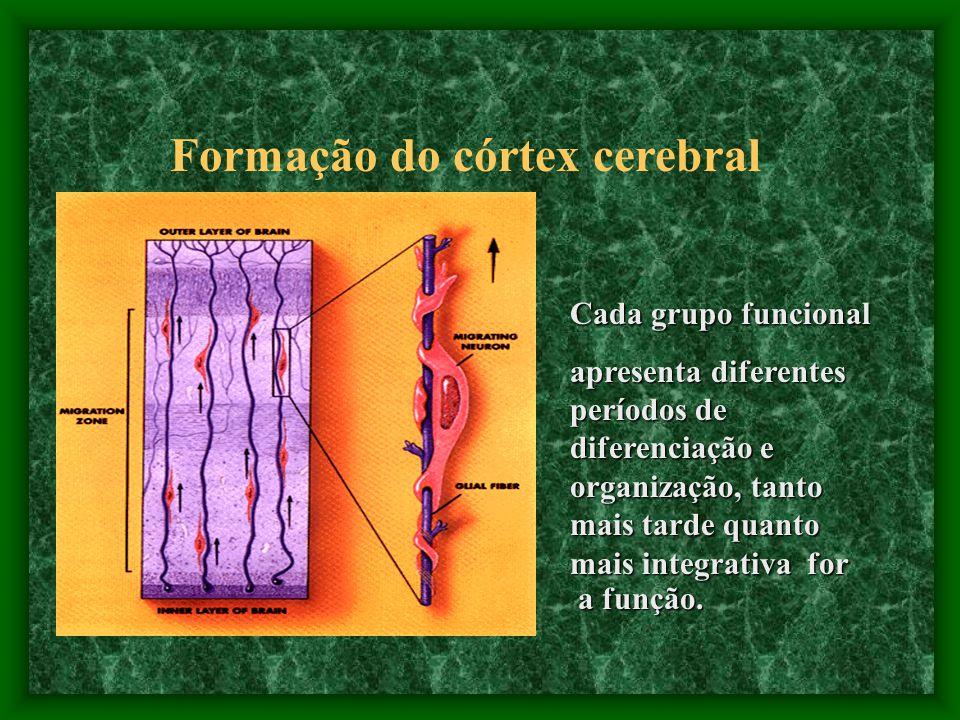 Formação do córtex cerebral Cada grupo funcional apresenta diferentes períodos de diferenciação e organização, tanto mais tarde quanto mais integrativa for a função.