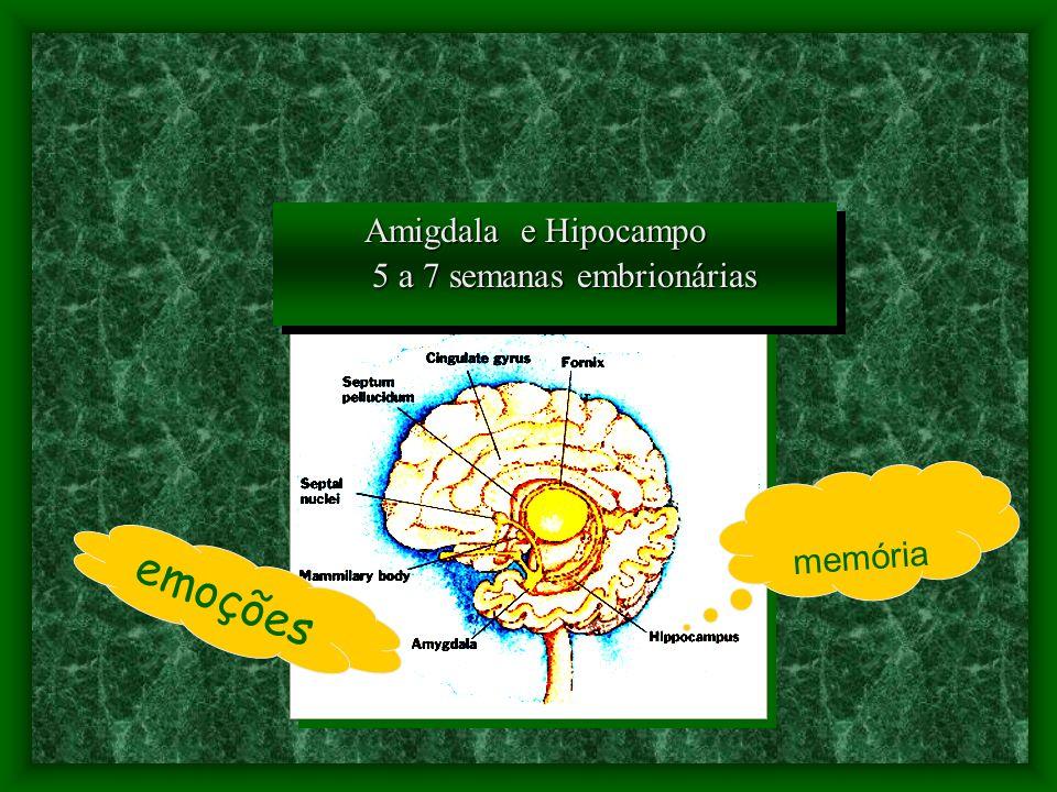 emoções memória Amigdala e Hipocampo 5 a 7 semanas embrionárias 5 a 7 semanas embrionárias Amigdala e Hipocampo 5 a 7 semanas embrionárias 5 a 7 semanas embrionárias