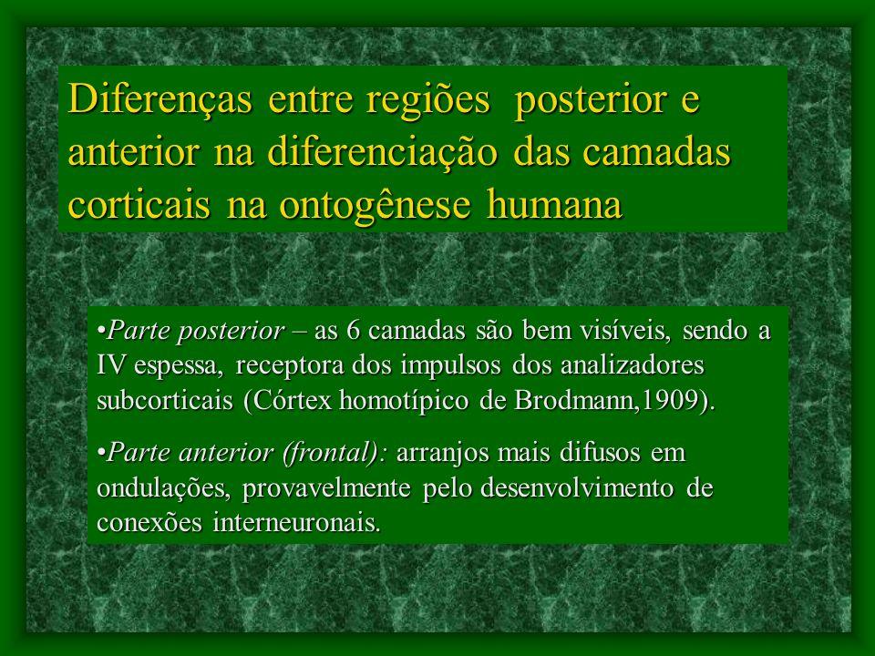 Diferenças entre regiões posterior e anterior na diferenciação das camadas corticais na ontogênese humana Parte posterior – as 6 camadas são bem visíveis, sendo a IV espessa, receptora dos impulsos dos analizadores subcorticais (Córtex homotípico de Brodmann,1909).Parte posterior – as 6 camadas são bem visíveis, sendo a IV espessa, receptora dos impulsos dos analizadores subcorticais (Córtex homotípico de Brodmann,1909).