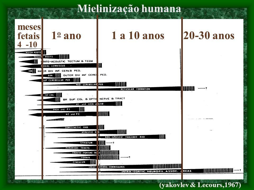 meses fetais 1 o ano 1 a 10 anos 20-30 anos 4 -10 Mielinização humana (yakovlev & Lecours,1967)