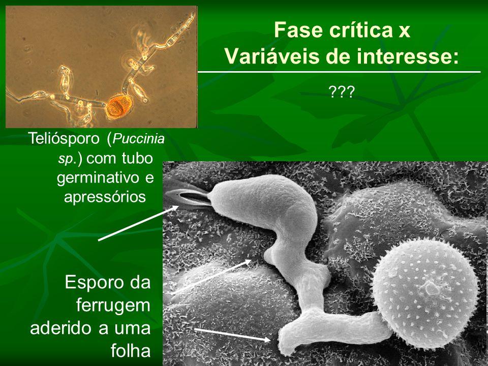 Fase crítica x Variáveis de interesse: Teliósporo ( Puccinia sp.) com tubo germinativo e apressórios Esporo da ferrugem aderido a uma folha ???