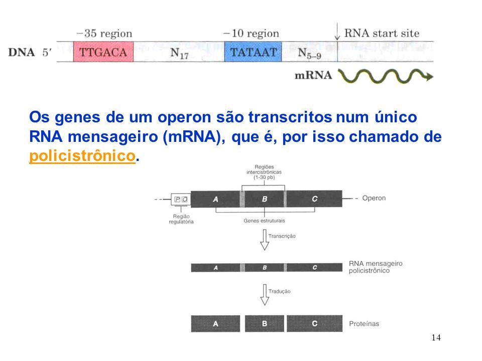 14 Os genes de um operon são transcritos num único RNA mensageiro (mRNA), que é, por isso chamado de policistrônico.
