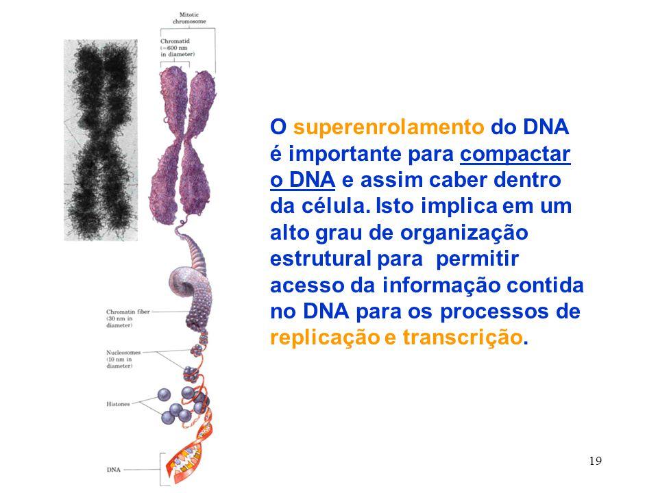 19 O superenrolamento do DNA é importante para compactar o DNA e assim caber dentro da célula.