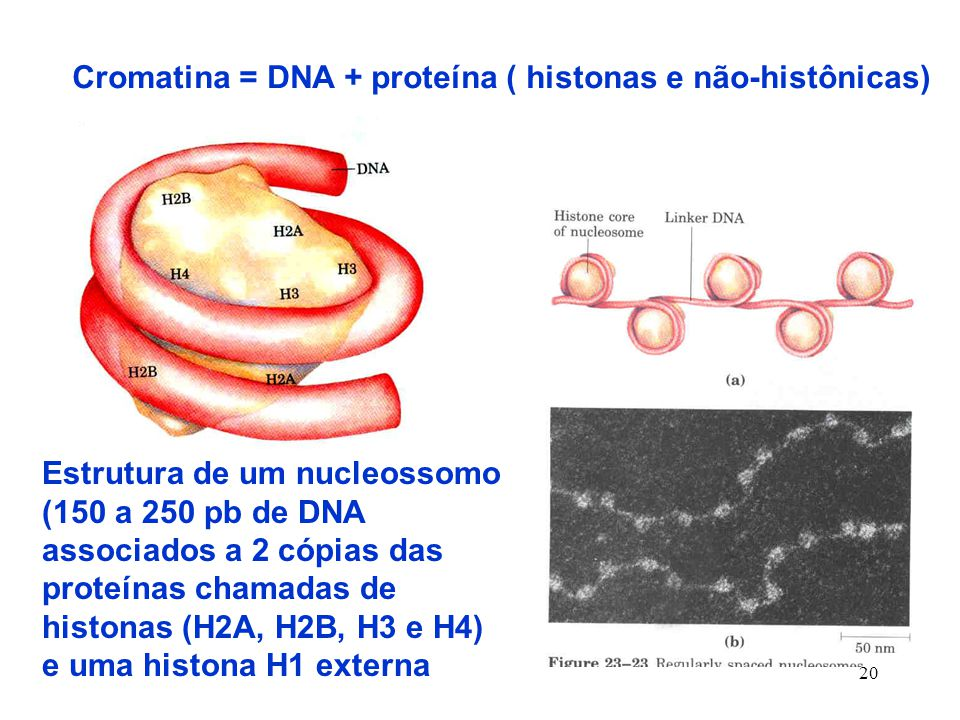 20 Cromatina = DNA + proteína ( histonas e não-histônicas) Estrutura de um nucleossomo (150 a 250 pb de DNA associados a 2 cópias das proteínas chamadas de histonas (H2A, H2B, H3 e H4) e uma histona H1 externa