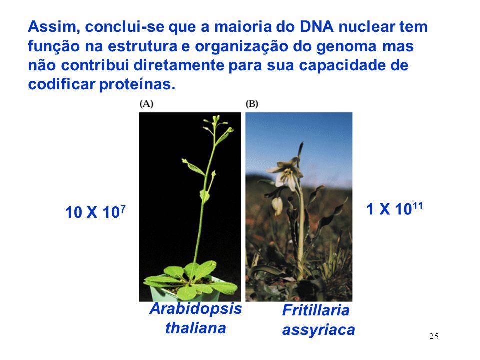 25 Assim, conclui-se que a maioria do DNA nuclear tem função na estrutura e organização do genoma mas não contribui diretamente para sua capacidade de codificar proteínas.