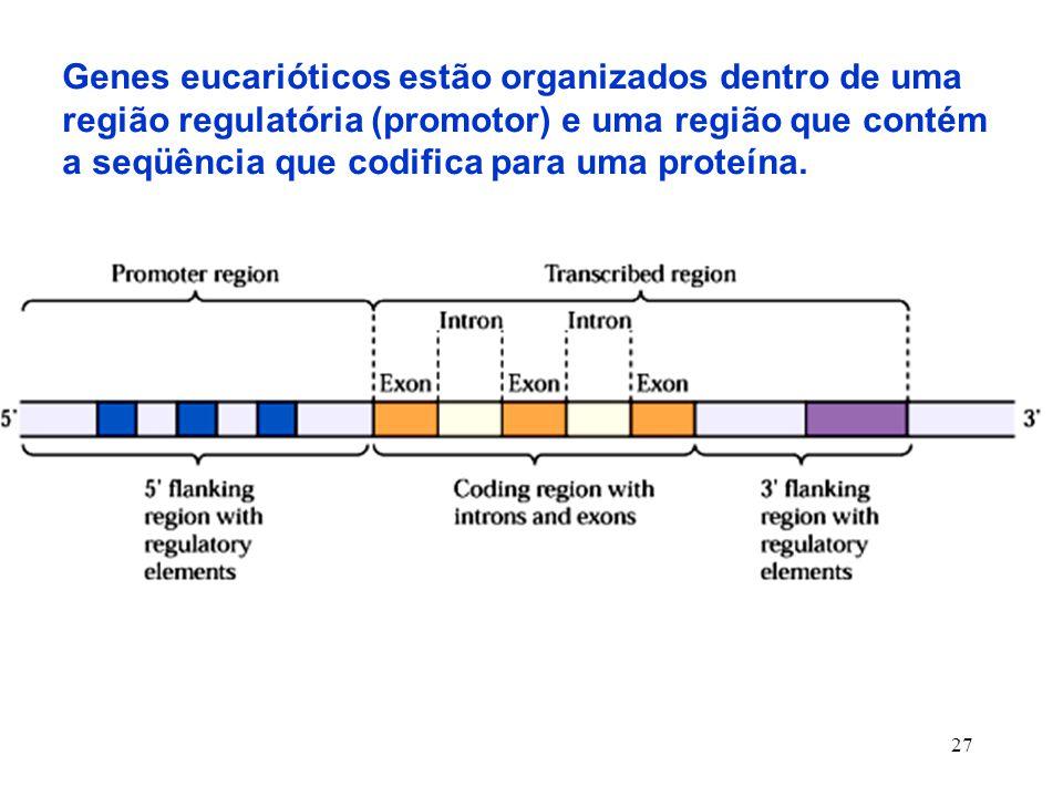 27 Genes eucarióticos estão organizados dentro de uma região regulatória (promotor) e uma região que contém a seqüência que codifica para uma proteína.