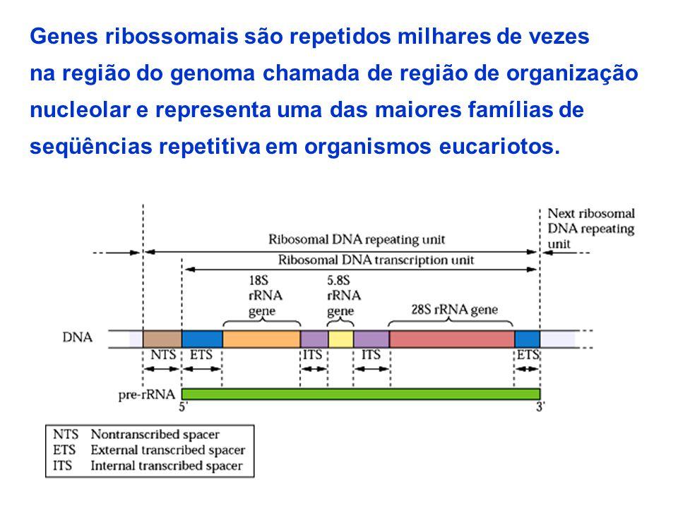 29 Genes ribossomais são repetidos milhares de vezes na região do genoma chamada de região de organização nucleolar e representa uma das maiores famílias de seqüências repetitiva em organismos eucariotos.