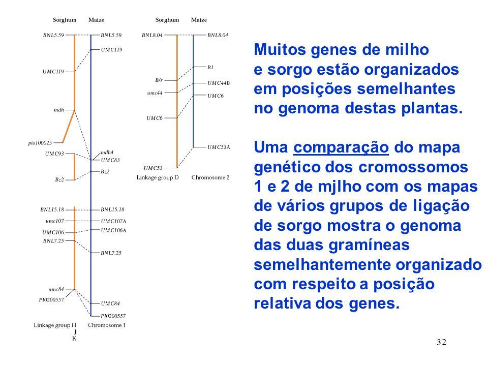 32 Muitos genes de milho e sorgo estão organizados em posições semelhantes no genoma destas plantas.