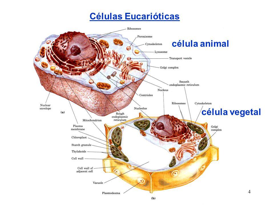 4 Células Eucarióticas célula animal célula vegetal