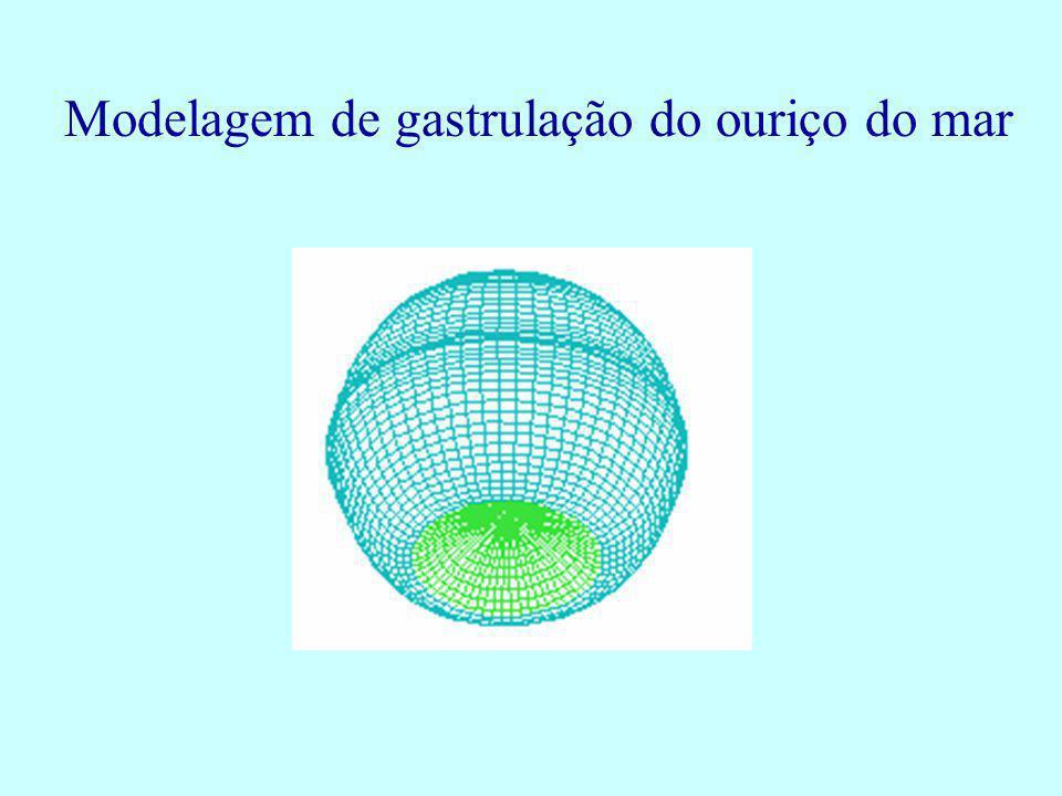 Modelagem de gastrulação do ouriço do mar