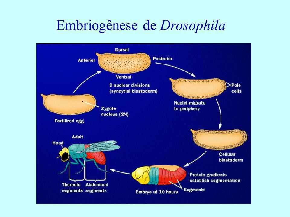 Embriogênese de Drosophila