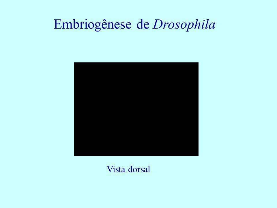 Embriogênese de Drosophila Vista dorsal